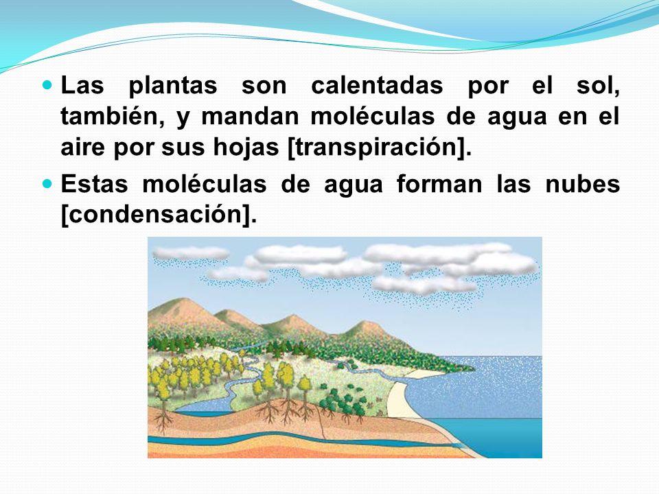 Las plantas son calentadas por el sol, también, y mandan moléculas de agua en el aire por sus hojas [transpiración].